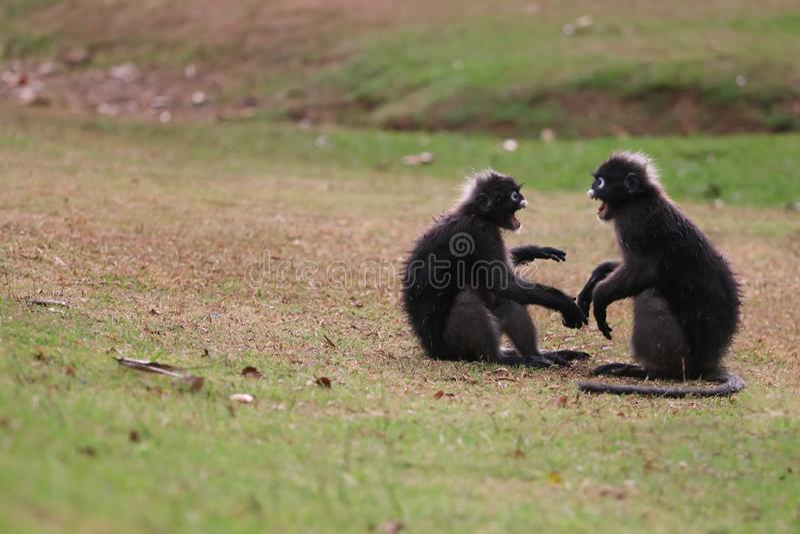 El mono de la hoja o el langur oscuro es que lucha o que muerde en el césped i imagen de archivo libre de regalías
