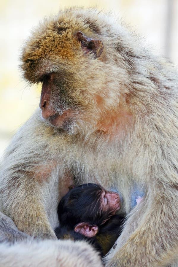 El mono de la madre con su bebé en sus brazos se cierra fotografía de archivo
