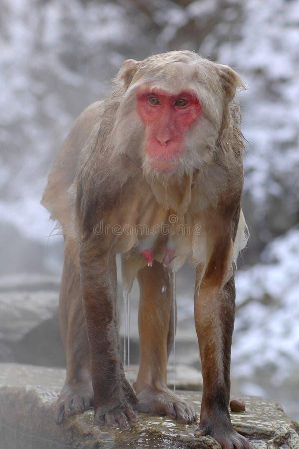El mono de la nieve adentro onsen imagen de archivo libre de regalías