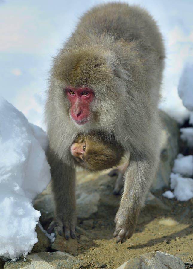 El mono de la nieve lleva un cachorro en su pecho que se calienta contra en el tiempo frío del invierno Parque de Jigokudani Naga fotografía de archivo