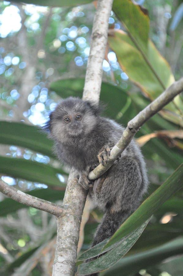 El mono de Ubatuba fotos de archivo