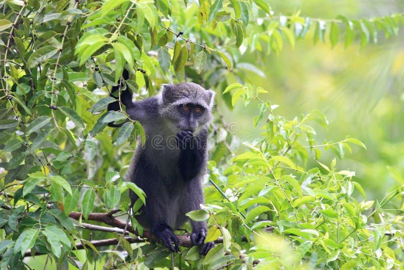 El mono del ` de Sykes - albogularis del Cercopithecus fotografía de archivo libre de regalías