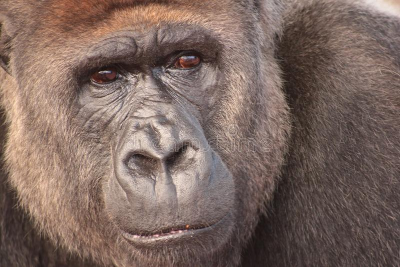 El mono dudoso de Roma fotos de archivo libres de regalías
