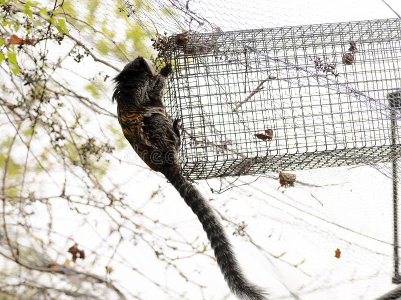 El mono en el jardín está jugando en el árbol Geoffroyi del Callithrix fotografía de archivo