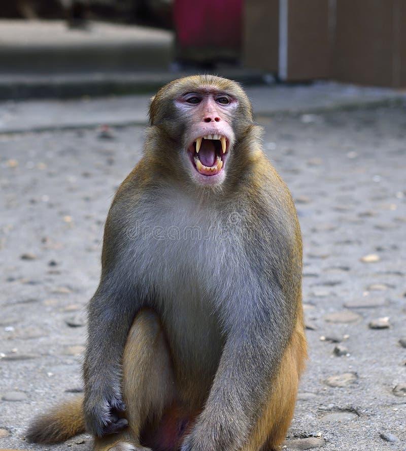 El mono está bostezando fotos de archivo libres de regalías