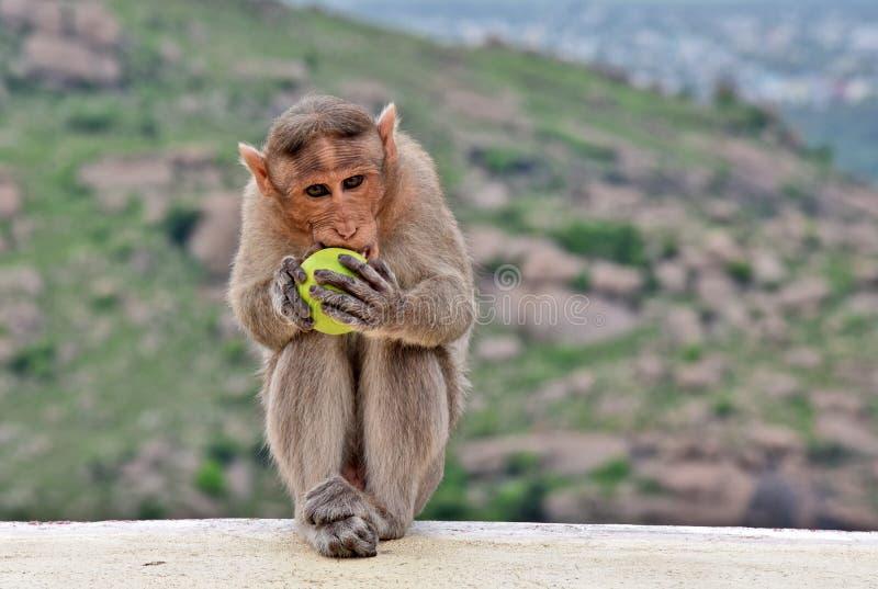 El mono precioso goza el comer del limón fotos de archivo
