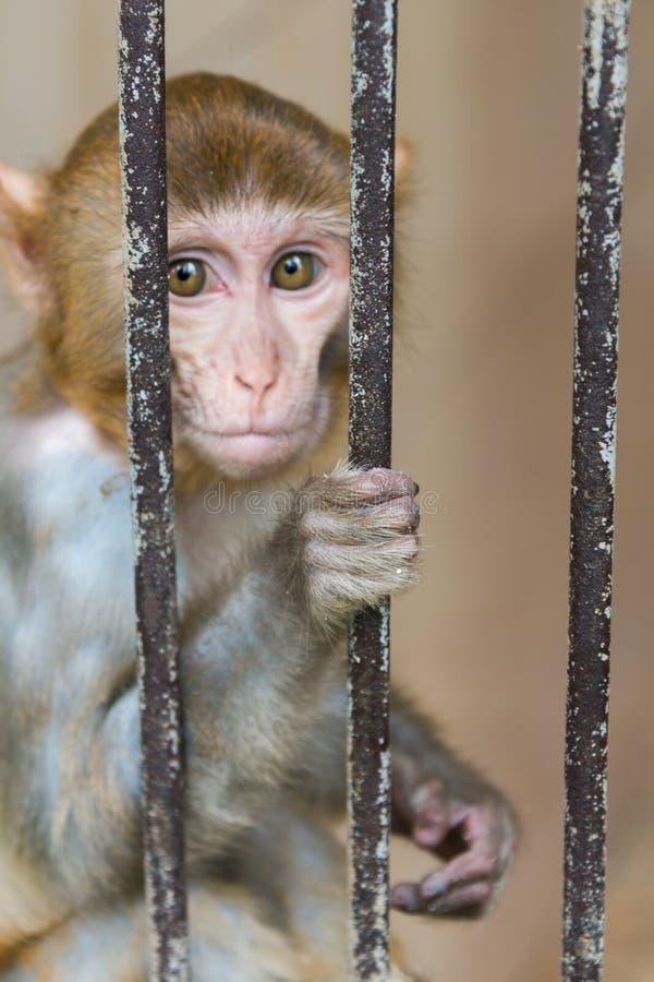 El mono se sienta detrás de barras fotografía de archivo
