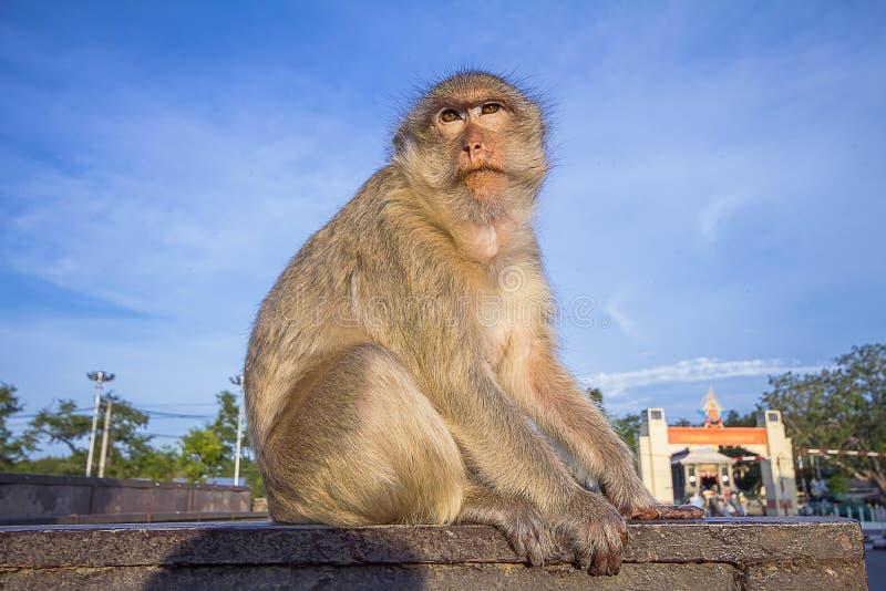 El mono se sienta en el top de la pared fotos de archivo