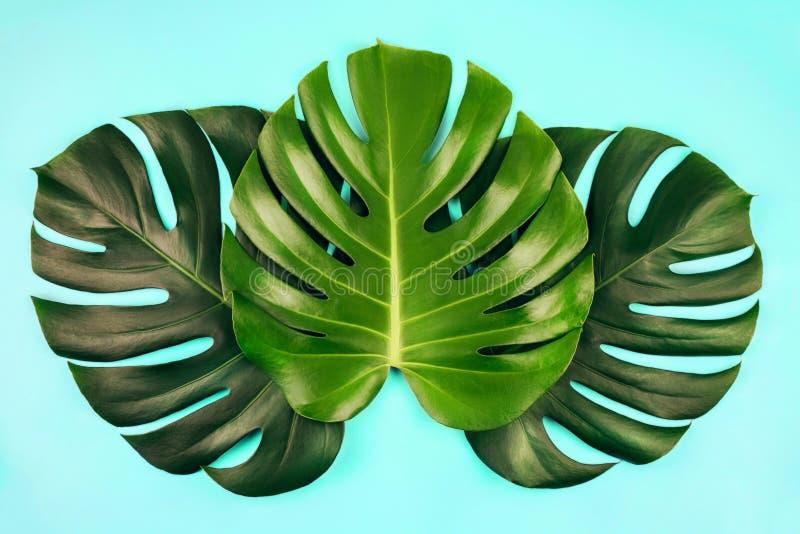 El monstera tropical de la selva tres se va aislado en fondo azul fotos de archivo libres de regalías