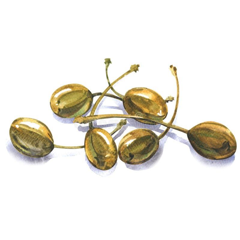 El montón de alcaparras conservadas enteras, spinosa del Capparis de las frutas comestibles, arbusto de la alcaparra, flinders su ilustración del vector
