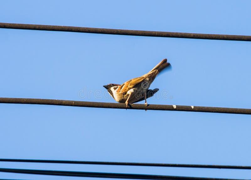 El montanus del transeúnte u otro gorrión de árbol eurasiático del nombre es un pájaro residente Es protección fácil y de la faun imagen de archivo