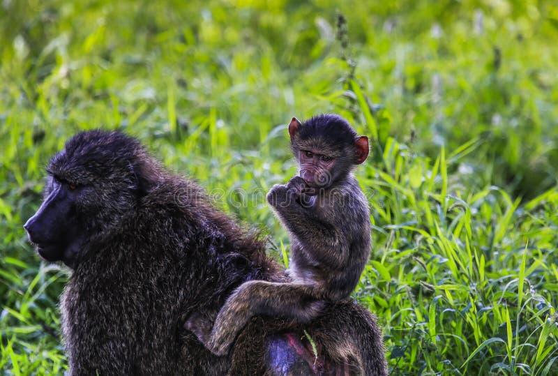 El montar a caballo del mono del bebé encendido apoya de madre fotos de archivo