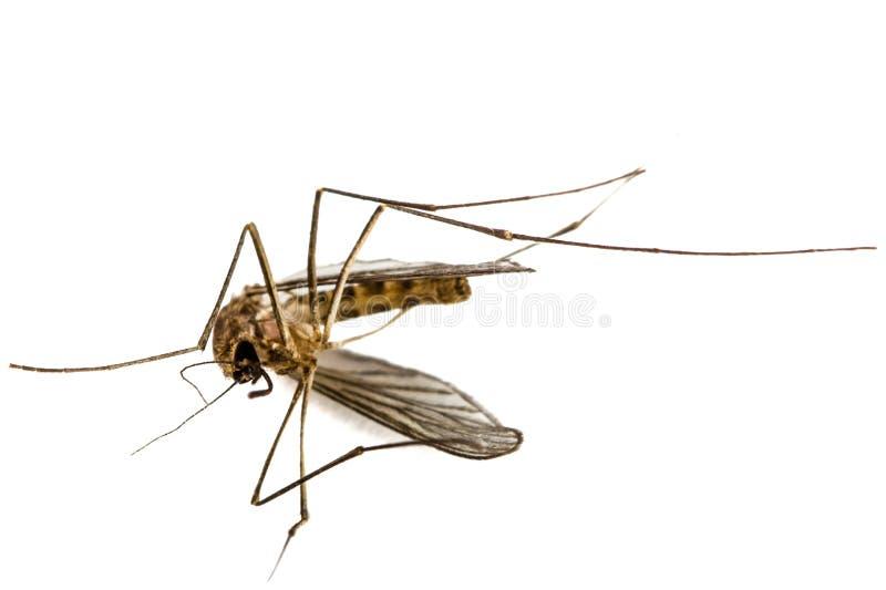 El mosquito muerto, aislado en el fondo blanco foto de archivo libre de regalías