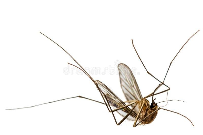 El mosquito muerto, aislado en el fondo blanco foto de archivo