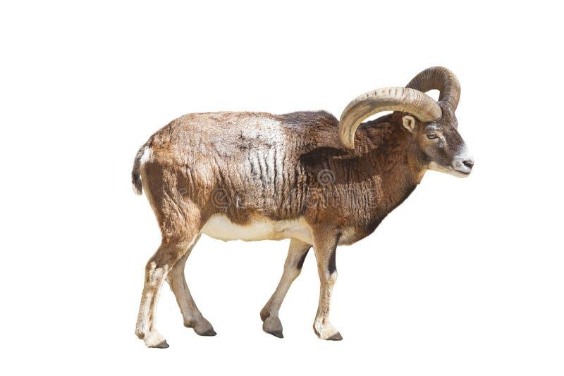 El moufflon europeo es un animal rajado del rumiante del género de las ovejas aislado fotografía de archivo
