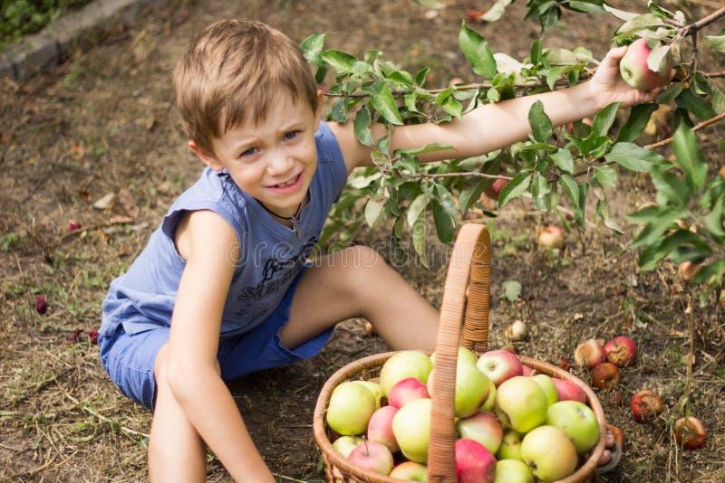 El muchacho en el jardín que se sienta con una cesta por completo de manzanas imagenes de archivo