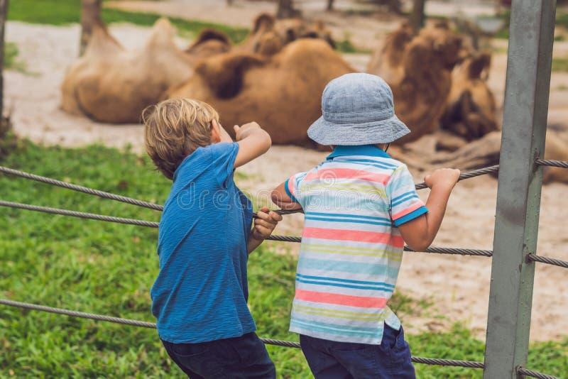 El muchacho mira los camellos el parque zoológico imágenes de archivo libres de regalías