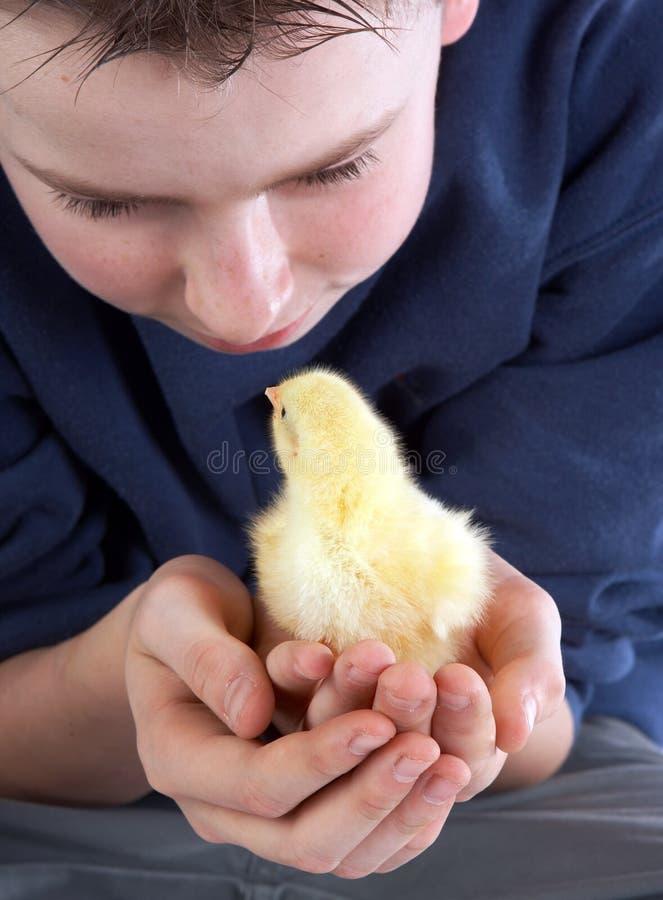 El muchacho resuelve el polluelo foto de archivo