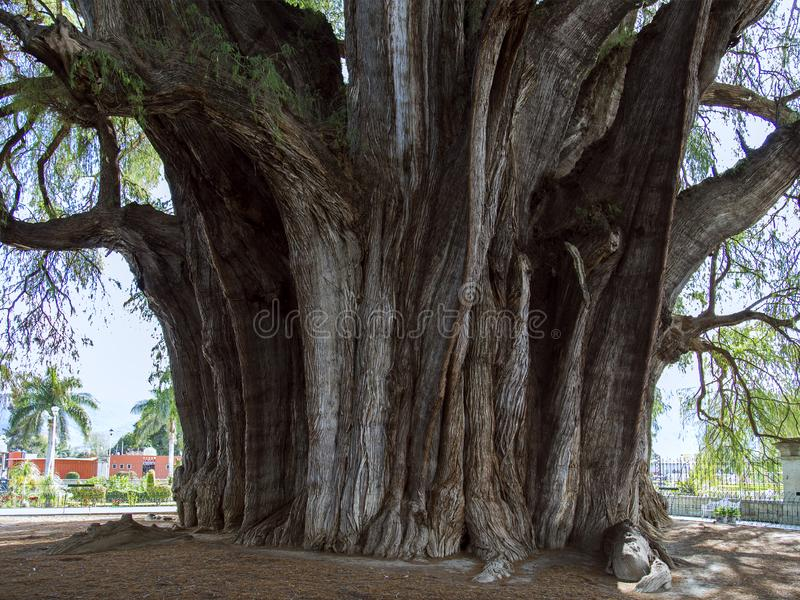 El mucronatum del Tule Taxodium del rbol del  de à es un ciprés en la ciudad mexicana meridional de Santa Maria del Tule Oaxaca fotografía de archivo