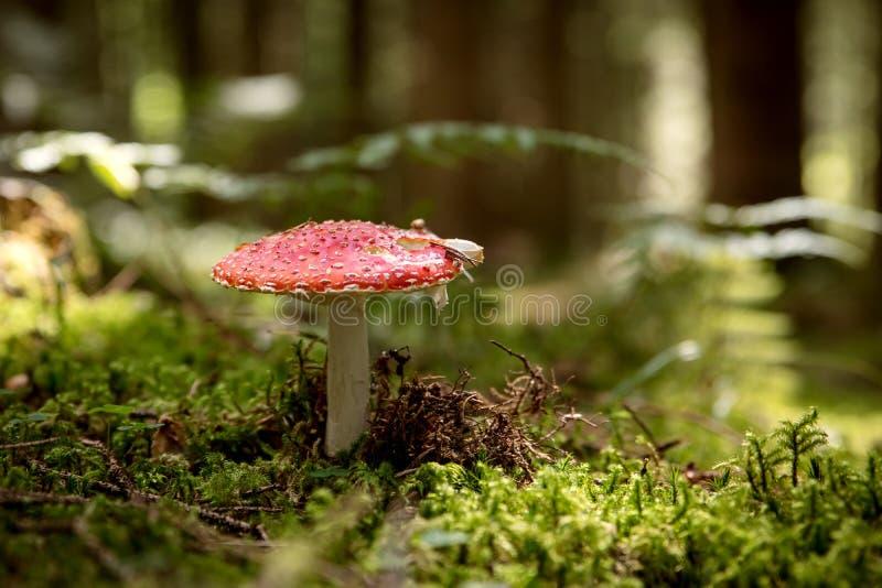 El muscari de la amanita, vuela la seta agric en el bosque fotos de archivo