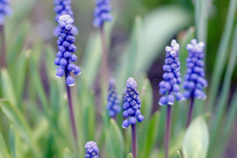 El Muscari florece la floración en el jardín de la primavera fotos de archivo