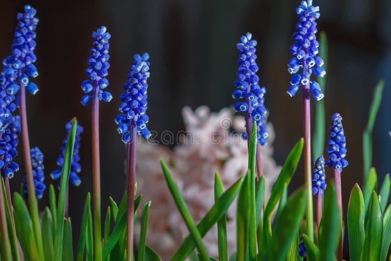 El Muscari florece la floración en el jardín de la primavera foto de archivo libre de regalías