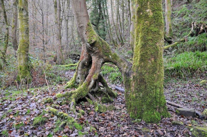 El musgo cubrió el árbol forestal con torcer raíces expuestas en invierno imagenes de archivo