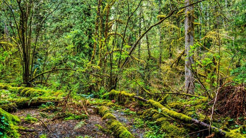El musgo cubrió árboles en la selva tropical templada del parque regional de la cala de Kanaka foto de archivo libre de regalías