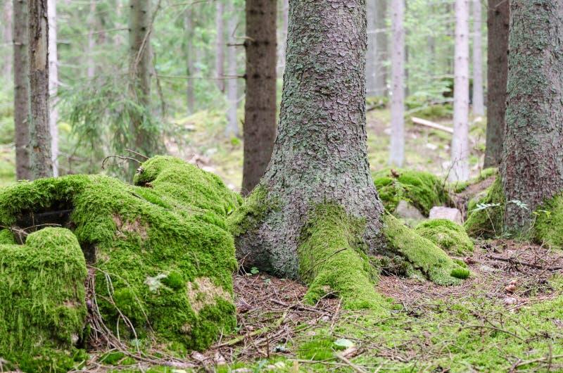 El musgo cubrió la tierra del bosque fotografía de archivo libre de regalías