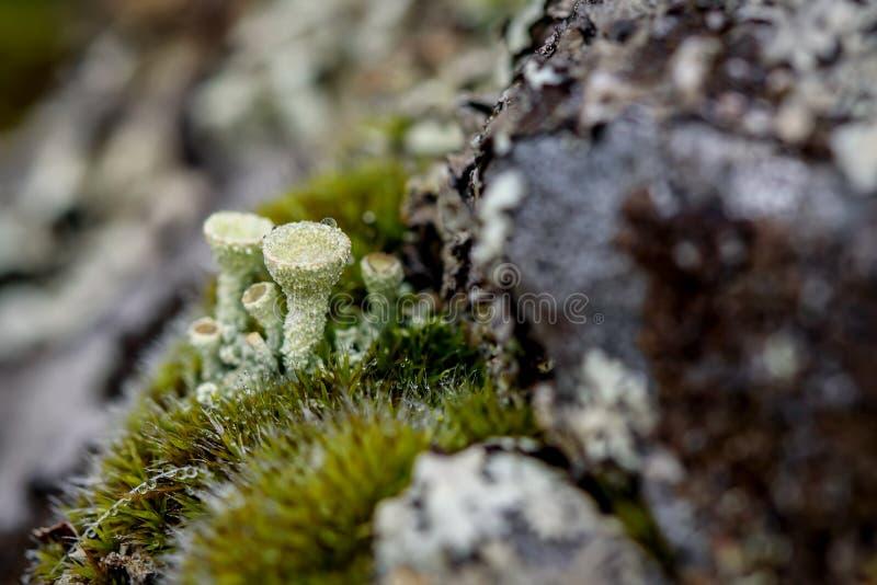 El musgo del liquen del Cladonia cae el rocío fotografía de archivo