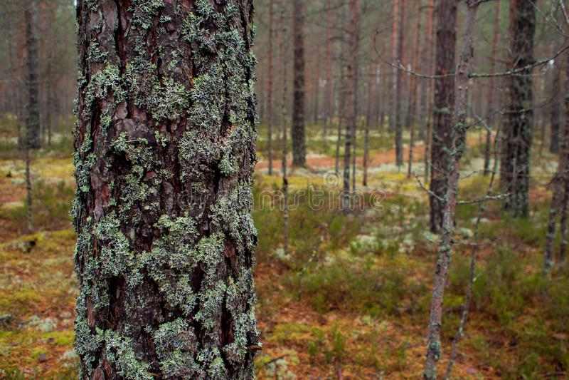 El musgo en el bosque septentrional el tronco del pino se crece demasiado con el musgo fotos de archivo