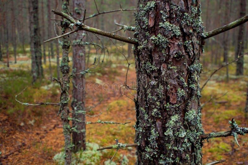 El musgo en el bosque septentrional el tronco del pino se crece demasiado con el musgo fotografía de archivo
