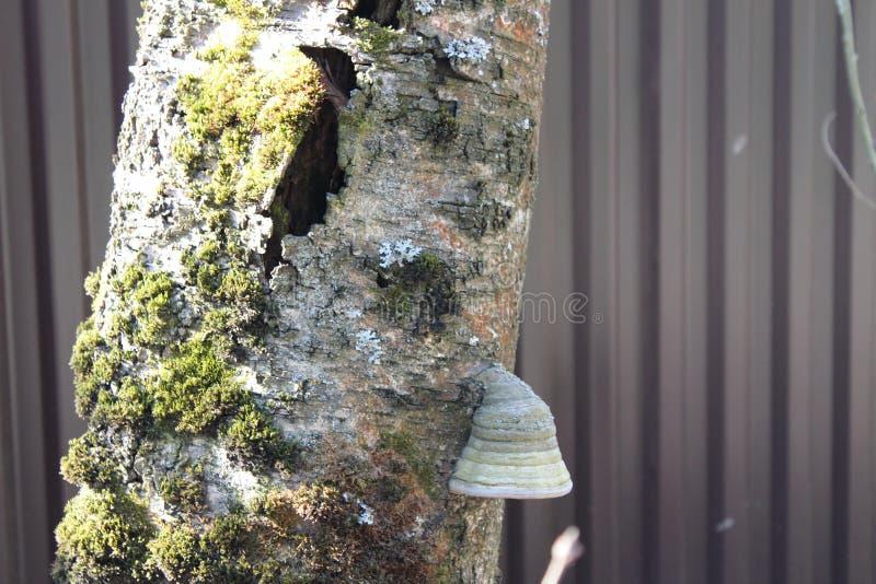 El musgo grande del wlth de la seta del árbol crece en un árbol fotos de archivo