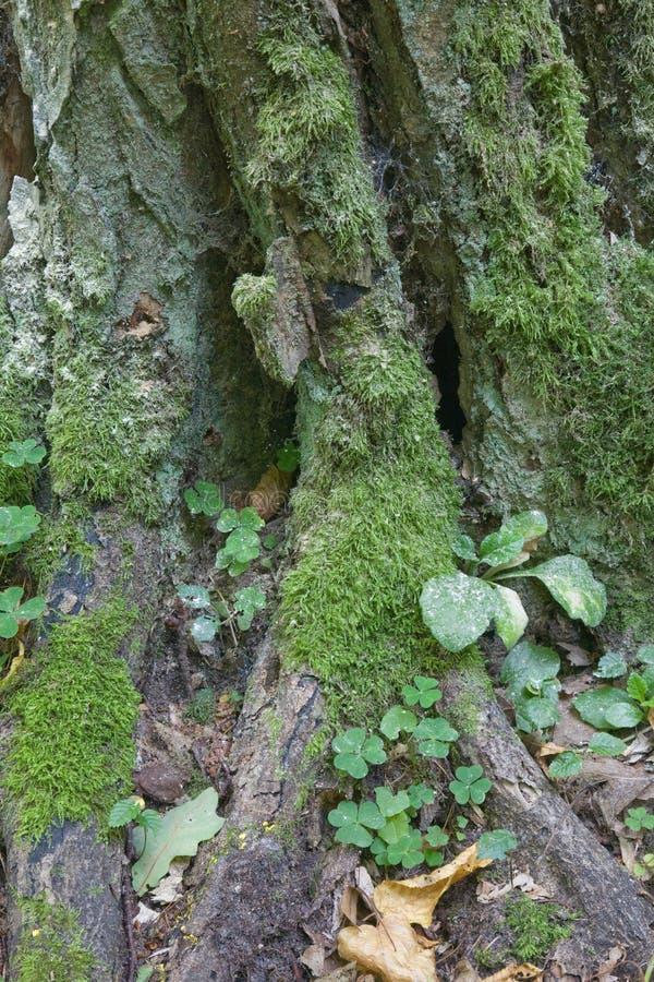 El musgo muy viejo envolvió el primer del tronco de árbol del carpe fotos de archivo libres de regalías