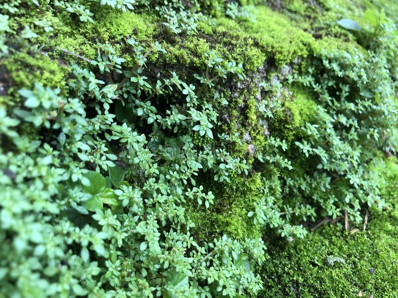 El musgo verde, bragas de la naturaleza imagen de archivo libre de regalías