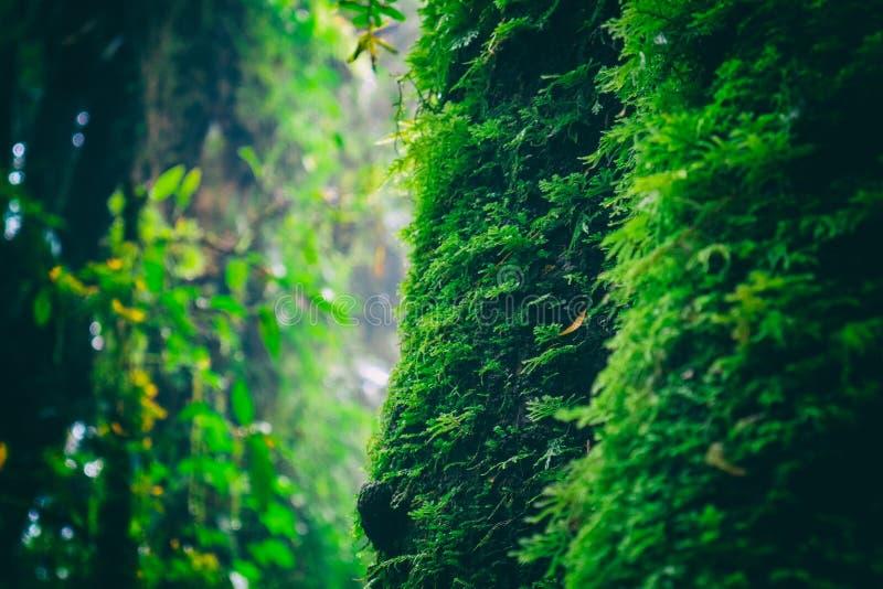 El musgo verde en el árbol en Ang Ka Luang Nature Trail es un sendero educativo dentro de una selva tropical en el pico de Doi In imagenes de archivo