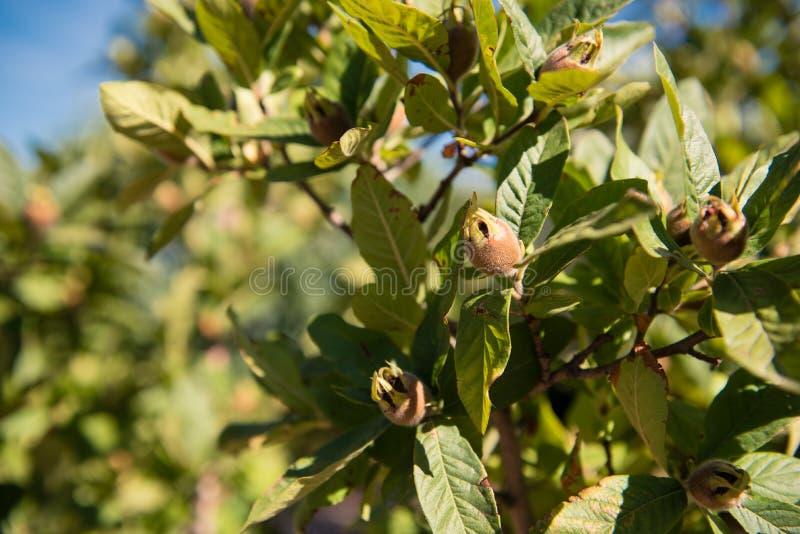 El níspero cerrado inmaduro de Brown da fruto en rama de árbol fotografía de archivo libre de regalías