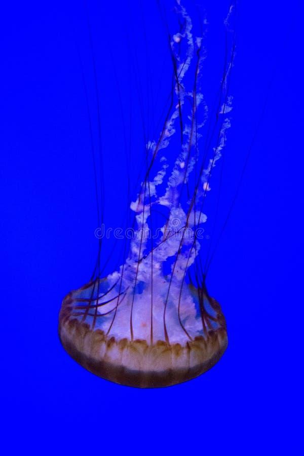 El nadar abajo de Jelly Fish imagenes de archivo