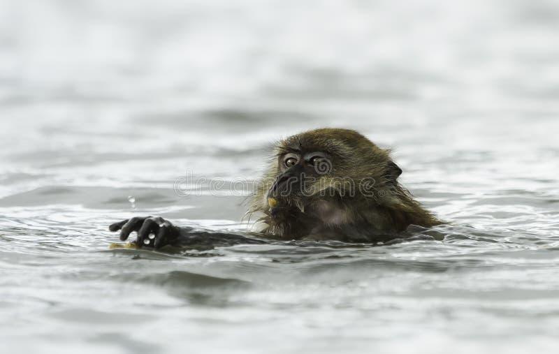 El nadar cangrejo-comiendo el macaque (fascicularis del Macaca) imagen de archivo
