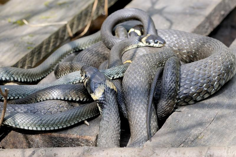 El Natrix del Natrix de las serpientes de hierba miente en los tableros de madera foto de archivo