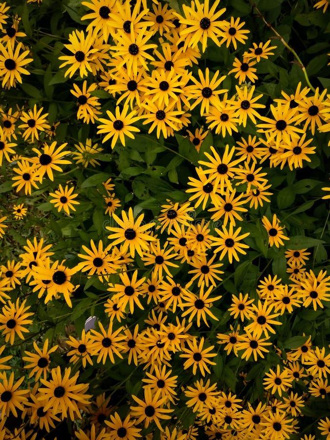 El negro eyed las flores de susan foto de archivo libre de regalías
