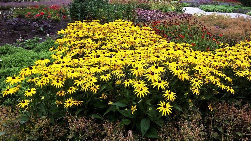El negro hermoso observó a Susan - flores de Hirta del Rudbeckia fotografía de archivo libre de regalías
