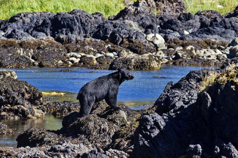 El negro refiere la isla de Vancouver en Ucluelet, Columbia Británica imagenes de archivo