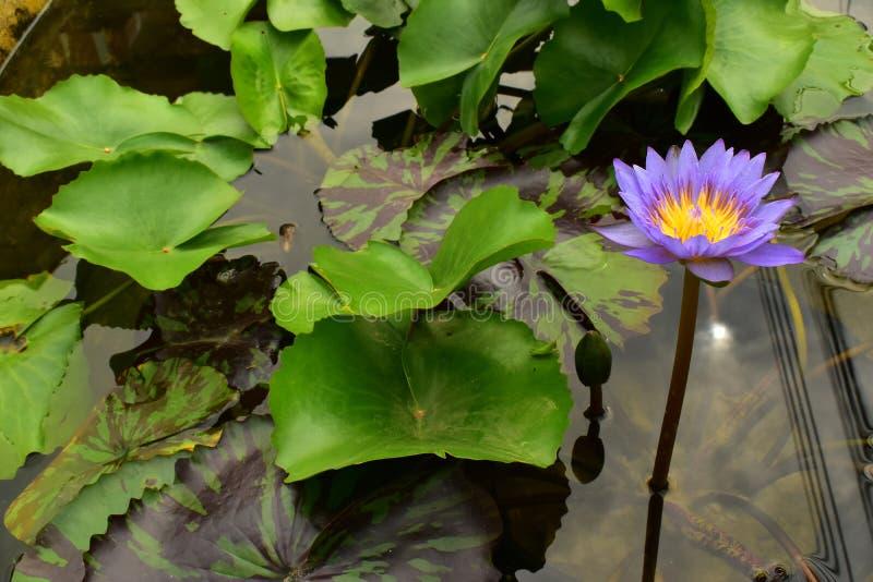 El Nelumbo violeta y amarillo Nucifera Lotus en la piscina de agua imágenes de archivo libres de regalías