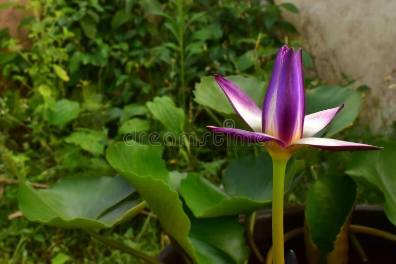 El Nelumbo violeta y amarillo Nucifera Lotus en la piscina de agua fotos de archivo