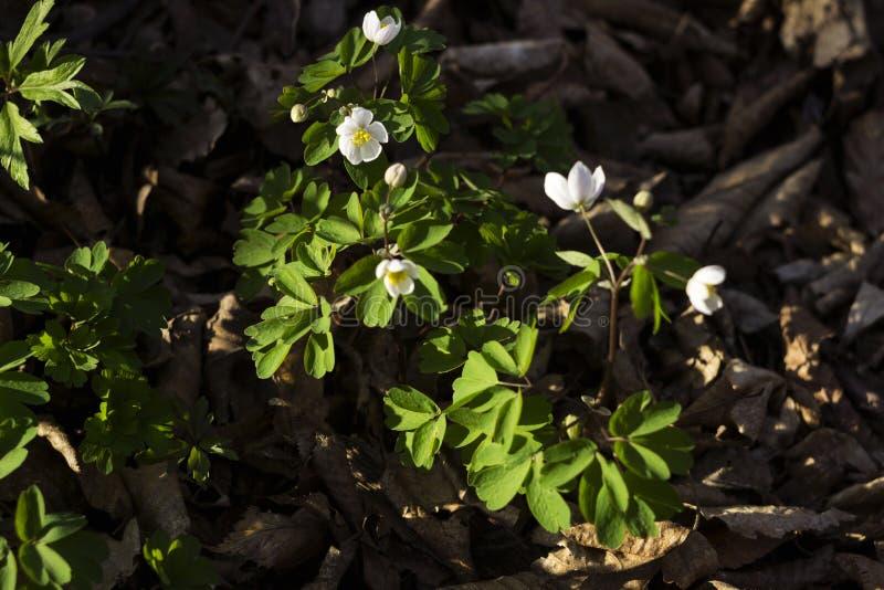El nemorosa de la anémona es una planta de florecimiento de la temprano-primavera en el bosque, windflower, género anémona fotos de archivo libres de regalías