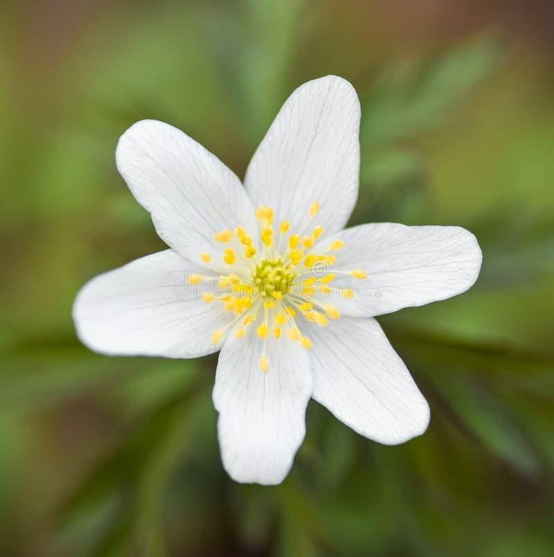 El nemorosa de la an?mona es un natural de la planta floreciente de la temprano-primavera a Europa imagen de archivo