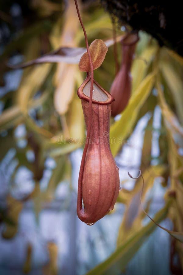 El Nepenthes, come la flor del insecto foto de archivo libre de regalías