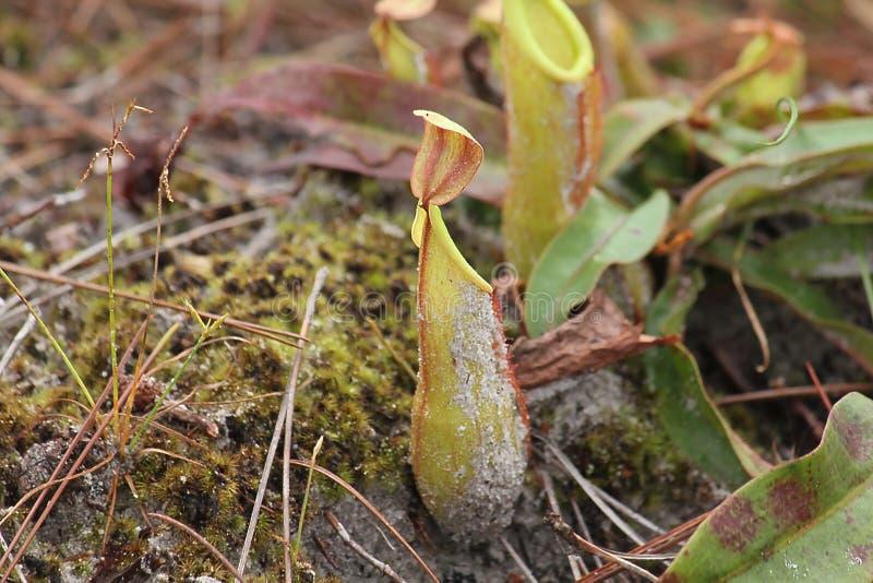 El Nepenthes en naturaleza es una especie de insecto imagen de archivo libre de regalías