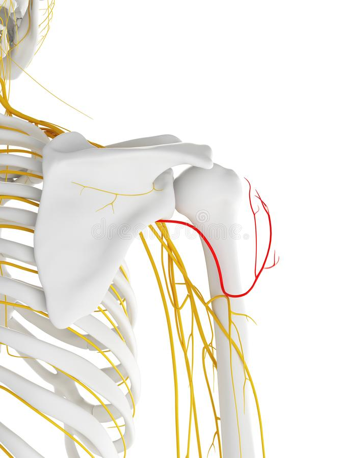 El nervio axilar stock de ilustración